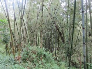 Bambuswald ist sehr hell und dennoch dicht bewachsen