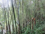 Bambus in Kaffa, Äthiopien
