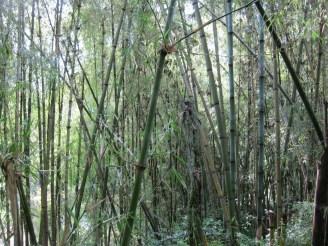 Bambuswald in Äthiopien
