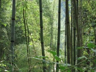 Im Bambuswald in Äthiopien hat man guten Durchblick