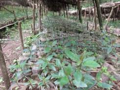 Junge Bäume werden herangezogen im Wald bei Bonga, in Äthiopien