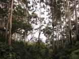 Eukalyptus wächst sehr schnell und bedroht das heimische Ökosystem im Wald in Äthiopien
