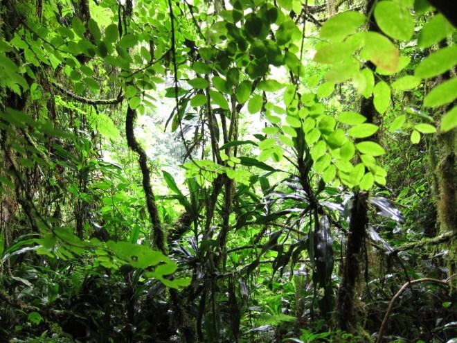 Blick in das Blätterdach im Wald bei Bonga, Äthiopien