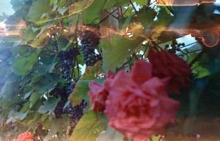 Rote Blume und reifer Wein