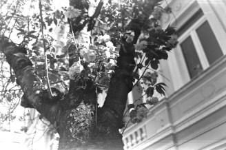 ADOX KB17 - Blühender Kirschbaum in der Bonner Altstadt