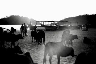 Kühe im Abendlicht 1
