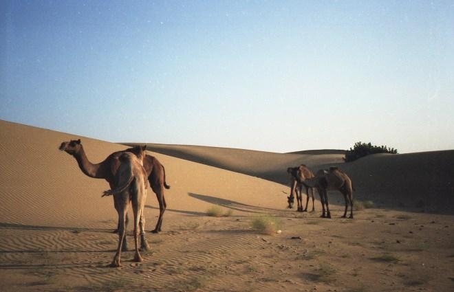 Kamele in der Wüste in Rajasthan - India 2006 Fuji Superia 200