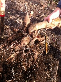 This December we are digging up dahlias that will be in bloom next season.