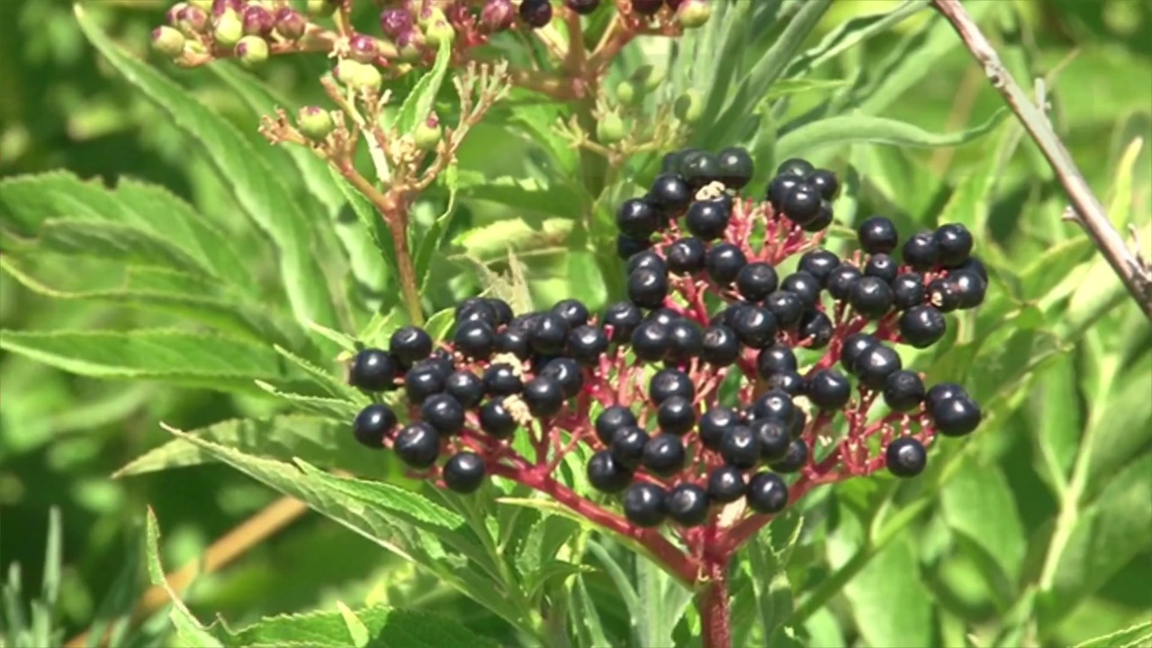 Elderberry Benefits Tea Syrup And More Health Benefits Of