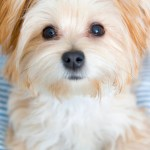 Morkie Puppies Facts And Videos Lovetoknow