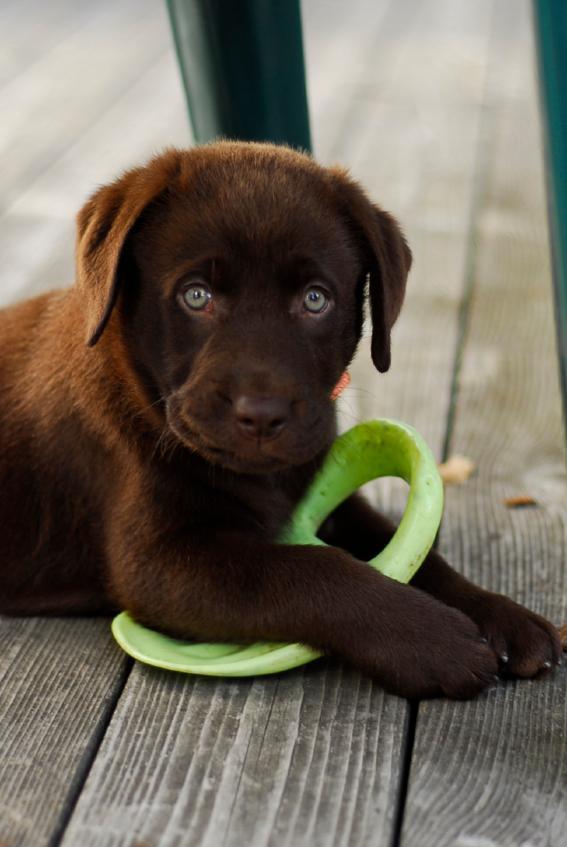 chocolate lab puppy names slideshow