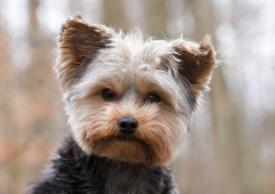 Yorkshire Terrier Characteristics Facts And Photos