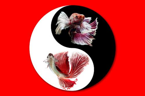 Cá betta biểu tượng âm dương