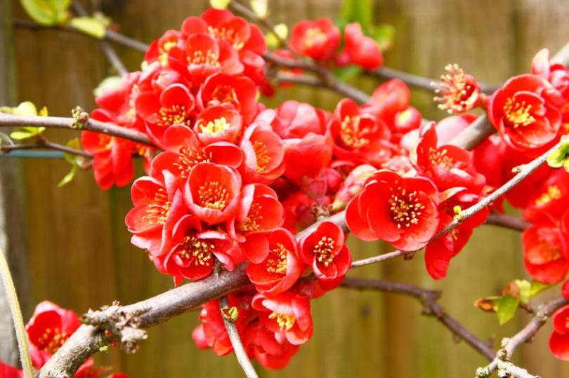 Pictures of Plants That Grow in Winter   LoveToKnow Flowering Quince jpg