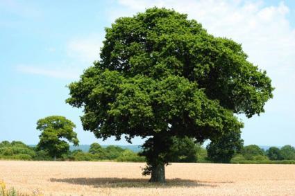 Oak Tree Varieties LoveToKnow