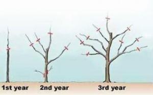 Fruit Tree Pruning Instructions | LoveToKnow