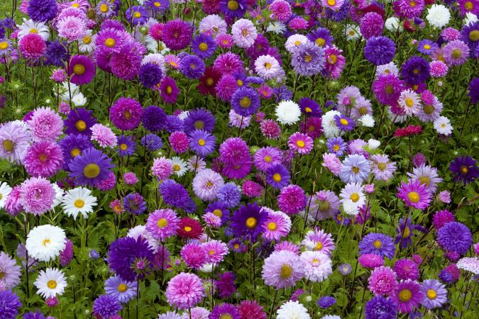 China Aster Aster Flower Bed
