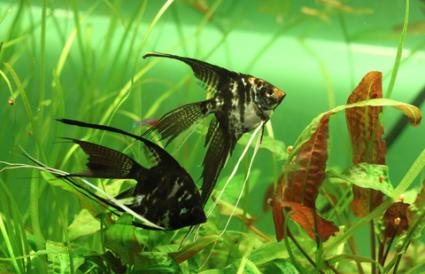 Veiled angelfish; copyright Mirceax at Dreamstime.com