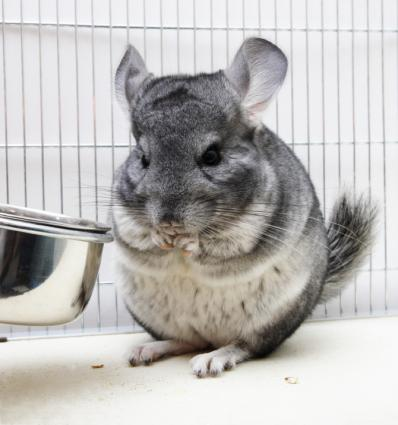 How To Care For Chinchillas LoveToKnow