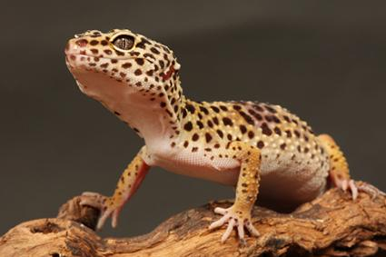 Image result for lizard as a pet