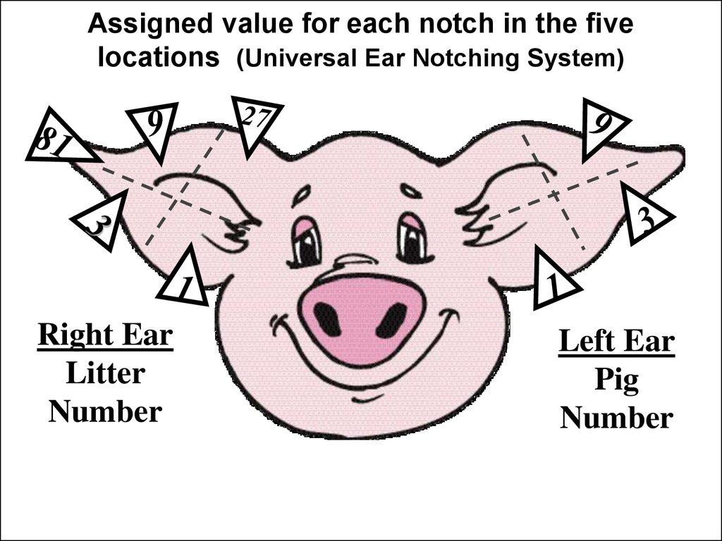 Pig Ear Notching Ear Notches Head Heart Hands Health 4h