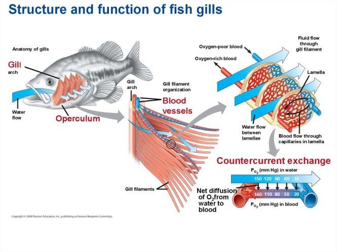 Countercurrent Exchange In Fish The Best Fish 2018