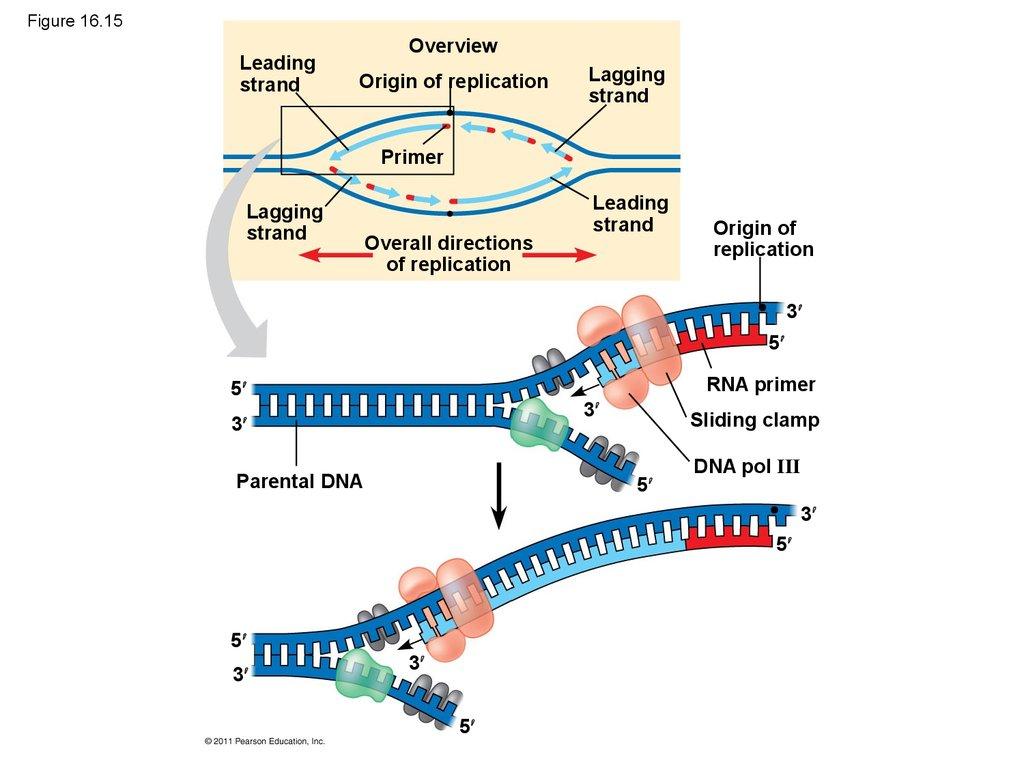 The Molecular Basis Of Inheritance Chapter 16
