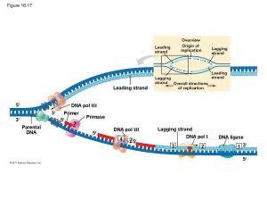 The molecular basis of inheritance (Chapter 16)  презентация онлайн