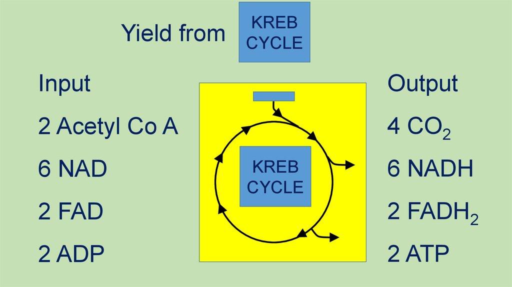 Aerobic Respiration And The Krebs Cycle