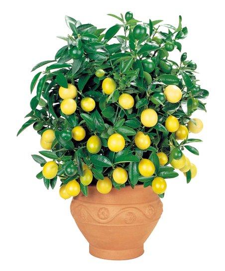 quick fruiting meyer lemon patio tree