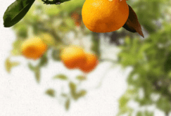 valenciaoranges2.png