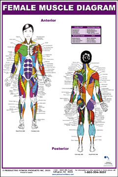 Female Muscle Diagram (nonlaminated)