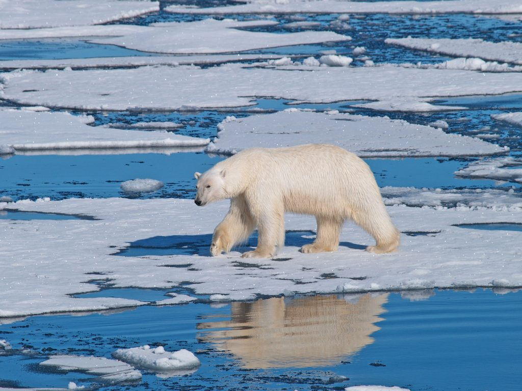 Polar Bears Across The Arctic Are Facing Much Shorter Sea