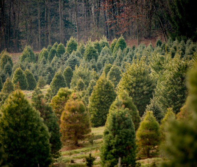 Christmas Trees For Sale At A Farm Offering Several Species Of Conifer For Sale Thieves
