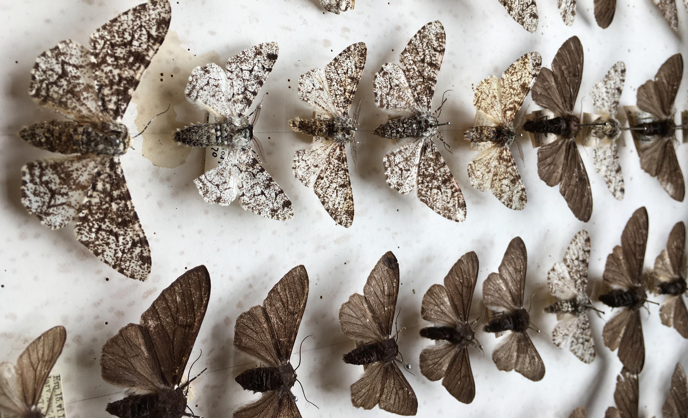 Moth Study Confirms Darwin S Theory Of Evolution Earth