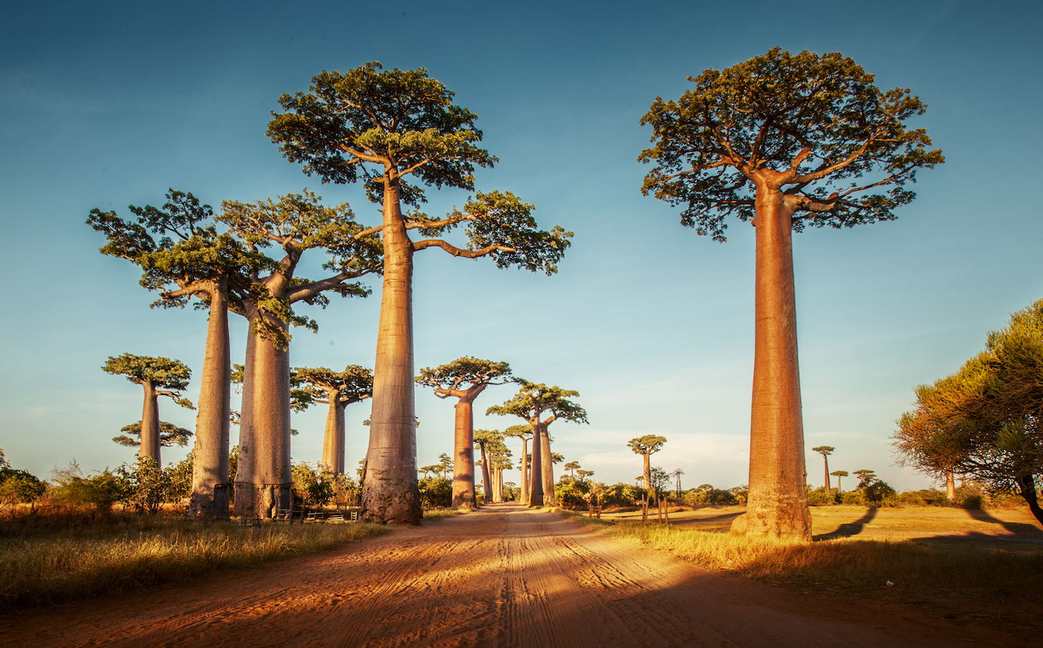 What Is It About Baobab Trees That Makes Them So Captivating Earth Com