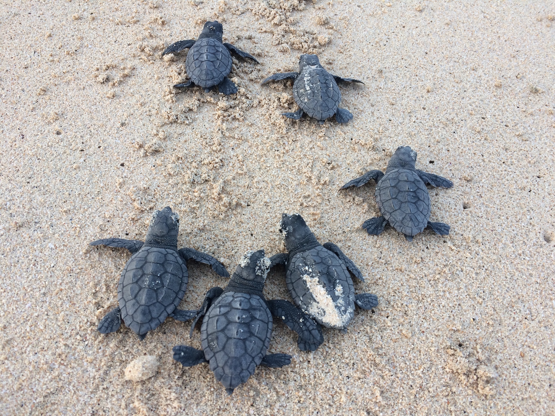 Rising Temperatures Threaten Cape Verde Turtle Population