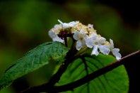 Hobblebush (Viburnum lantanoides)?