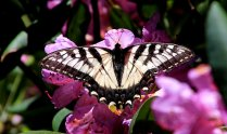Eastern Tiger Swallowtail on Catawba rhododendron (Rhododendron Catawbiense)