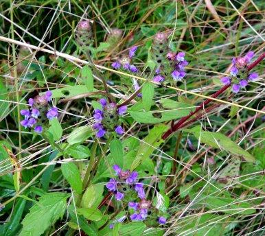 Heal All (Prunella vulgaris)