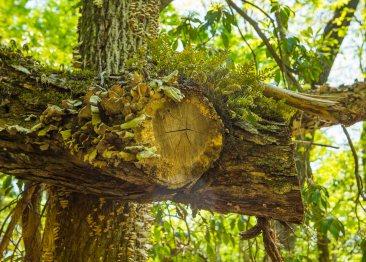 Resurrection fern and fungi