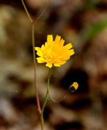Rattlesnake Weed (Hieracium venosum)
