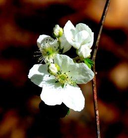 a Blackberry (Rubus)