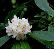 Rosebay rhododendron (Rhododendron maximum)