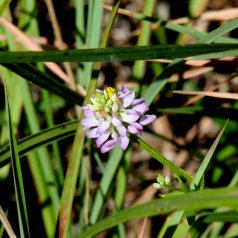 Curtis's milkwort (Polygala curtissii)