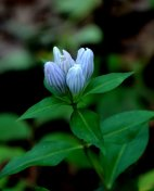 Probably a Closed gentian