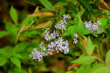 Possibly Purple-stemmed aster (Symphyotrichum puniceum)