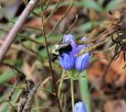 Bee and gentian