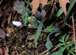 Bloodroot (Sanguinaria canadensis) bud