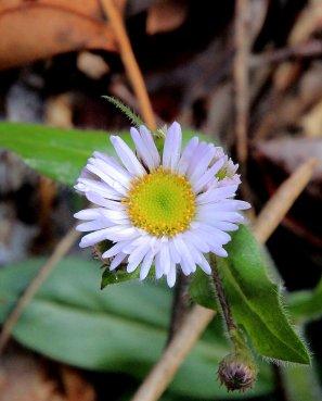 Robin's Plantain (Erigeron pulchellus)